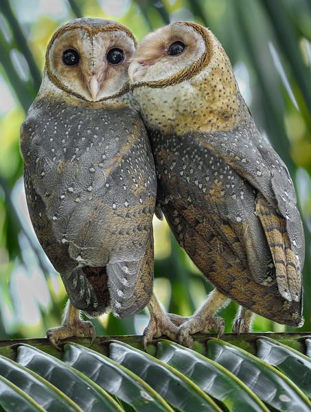 Andaman-masked-owls-socialising.jpg