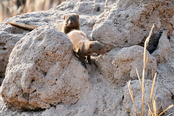 Dwarf Mongoose MalaMala South Africa 2019