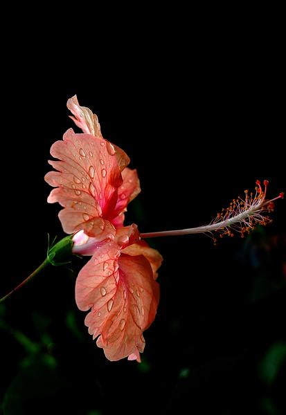 Puerto Rico  pink hibiscus.jpg