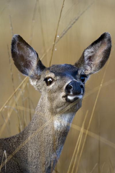 Blacktailed deer, Point Reyes, 10.13.07