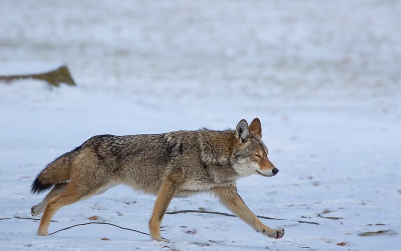 Eastern Coyote on the Run