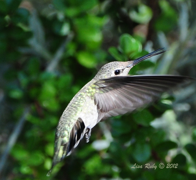 Anna's Hummingbird - 8/21/2012  - Tracy's House Escondido