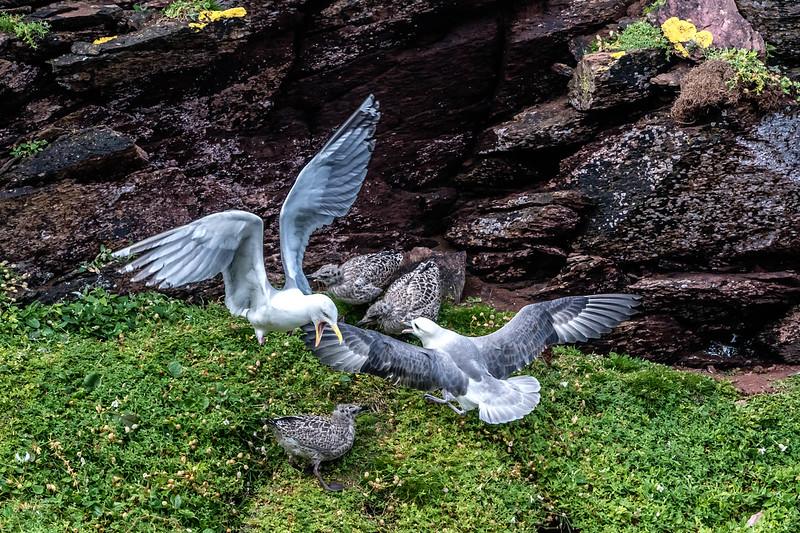 Fulmar attacking Herring Gull chicks
