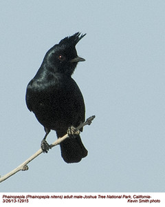 Silky-Flycatchers and Bulbuls