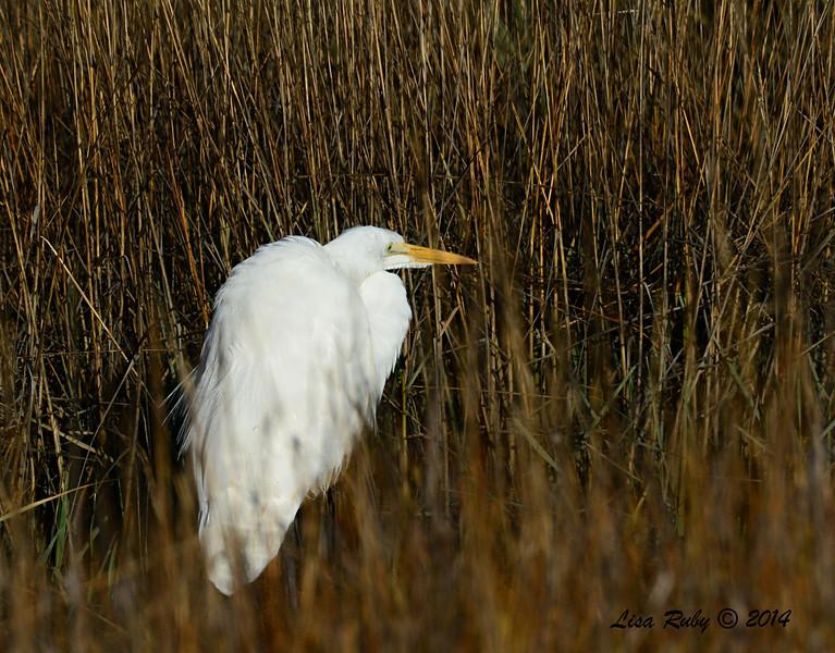 Great Egret - 2/1/14 - North Rios Trail San Elijo Lagoon