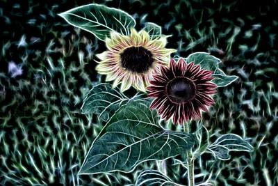 Sunflowers 2018 Fairgrove