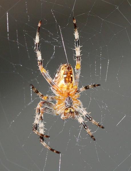 9834 Spider.jpg