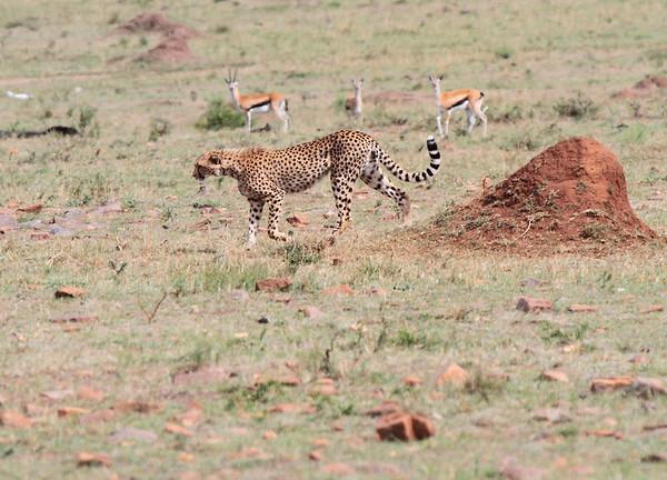 Cheetah Asilia Kenya 2011