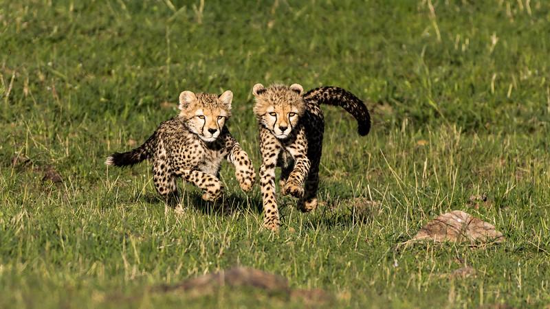 Cheetahs-0222.jpg