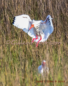 2018 03 22 Galveston Island SP Birds