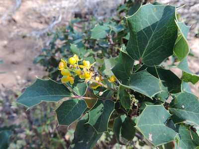 California Barberry (Berberis aquifolium)