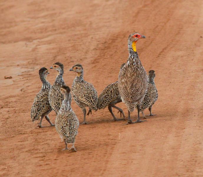 Yellow-throated spurfowl   Mkomazi NP Tanzania 2014 06 30.JPG