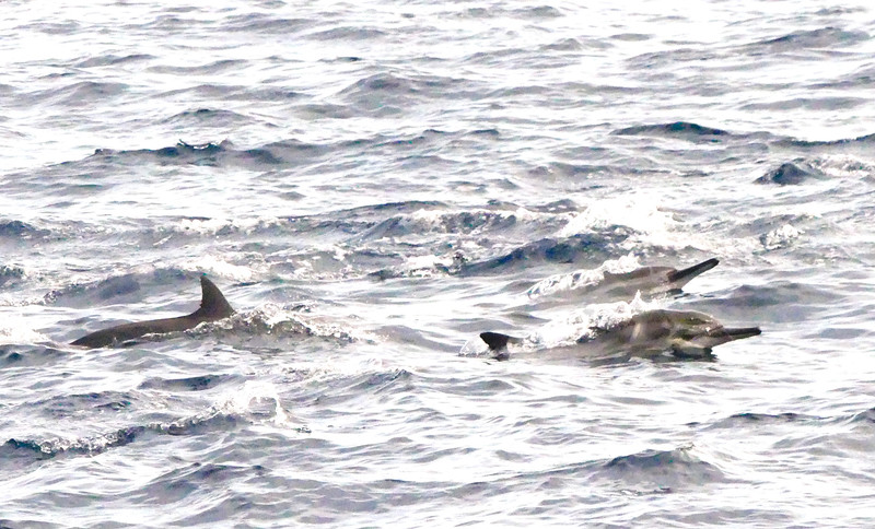Many dolphins around the boats swimming in groups. Twice saw the spinner dolphins spinning in the air. But of not quick enough to capture that.