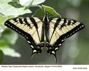 WesternTigerSwallowtail40676.jpg
