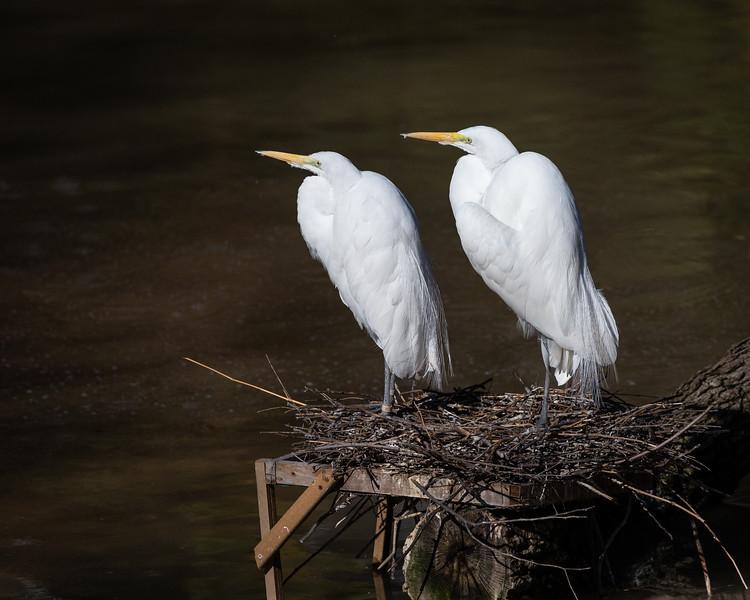 Nesting Great Egrets