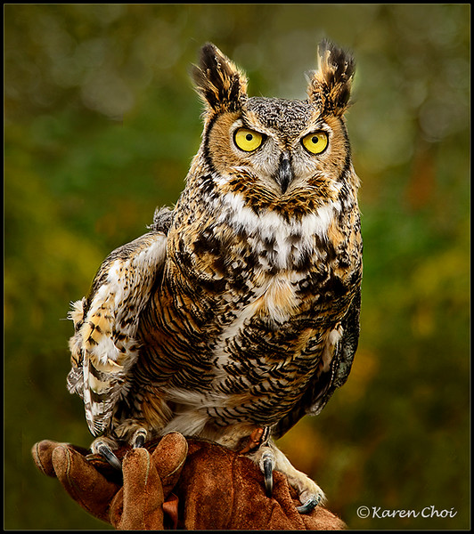 Great Horned Owl 5 sm.jpg