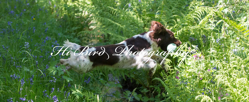 KC Spaniel Open Run off HBTP-2.jpg