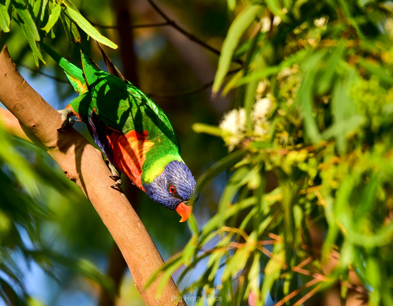 Cronulla parrots 4.jpg