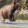 Grizzly Bear - Bella Coola