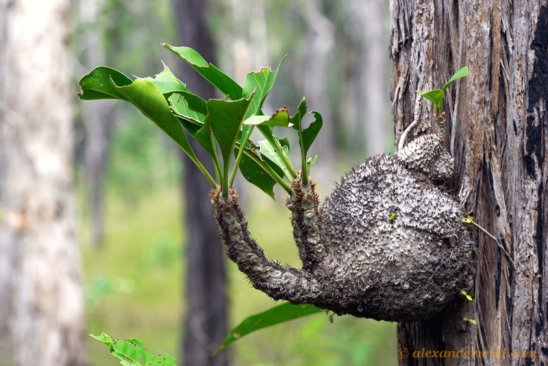 An epiphytic Myrmecodia ant-plant in an Australian woodland.  The swollen base of this plant is hollow, with an intricate gallery of chambers that house aggressive Philidris ants.  The ants defend the plant (not very effectively in this case, judging from the holes in the leaves), and provide the plant with nutrients.  Iron Range National Park, Queensland, Australia