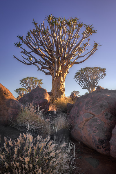 Quiver Forest in the Morning, Keetmanshoop, Namibia
