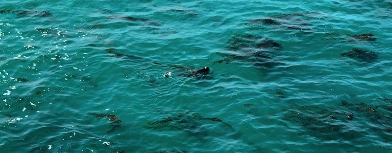 Seagull Sea Otter Fight