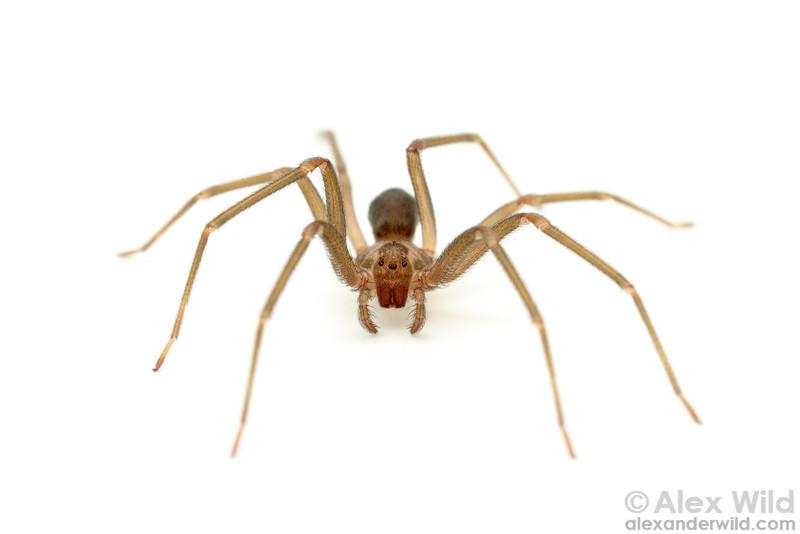 Loxosceles reclusa - brown recluse