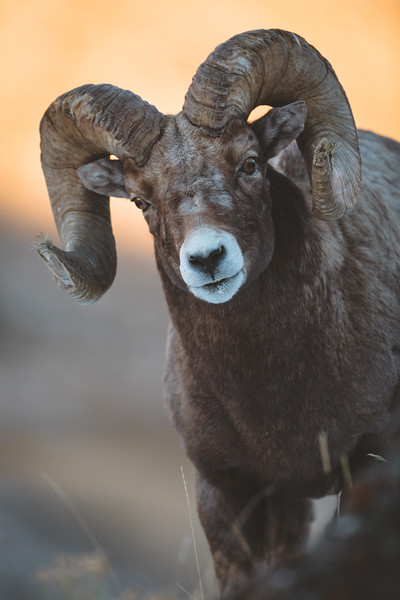 Wintering Bighorn Sheep