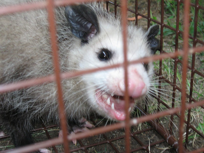 2011/09/08 >> Possums