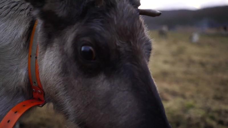 Reindeer in Tromso November 2018