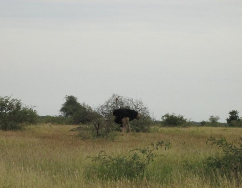 male ostrich.jpg