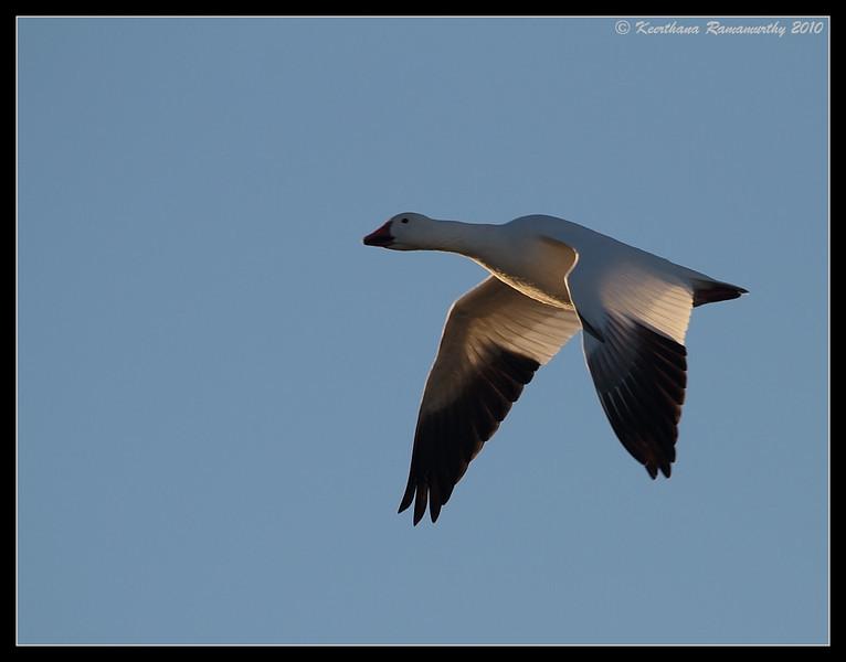 Snow Goose at sunrise, Bosque Del Apache, Socorro, New Mexico, November 2010
