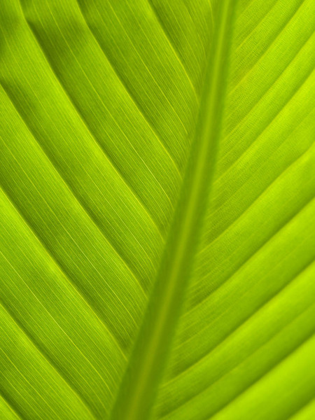 Big Leaf Veins 3.jpg