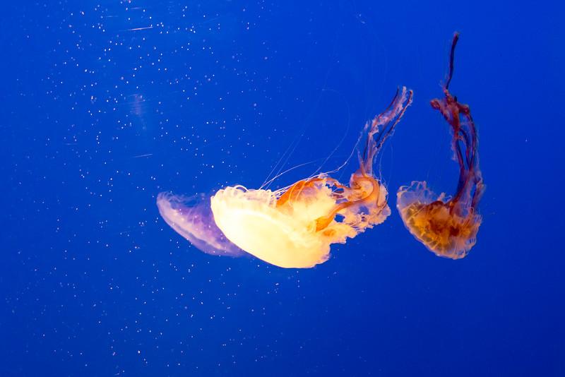 Jellyfish at Ft. Fisher Aquarium (31 May 2016)