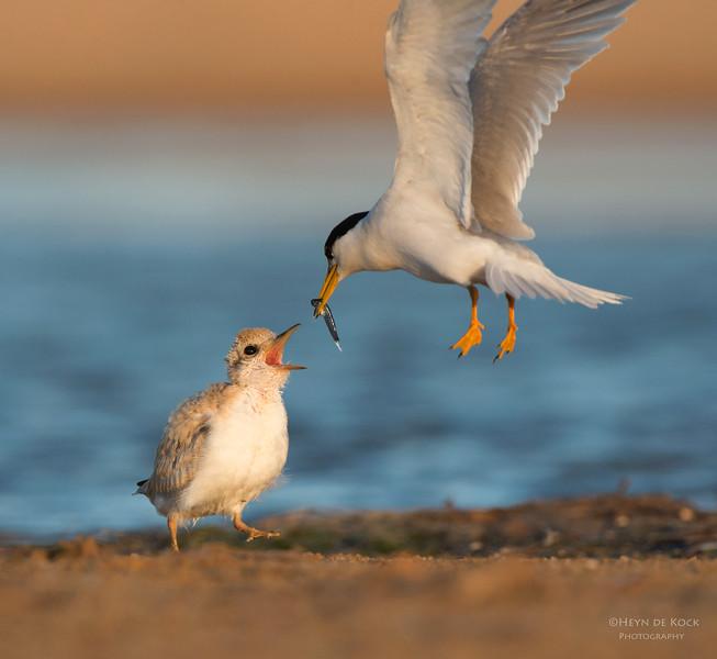 Little Tern feeding chick, Culbarra, NSW, Aus, Feb 2013.jpg