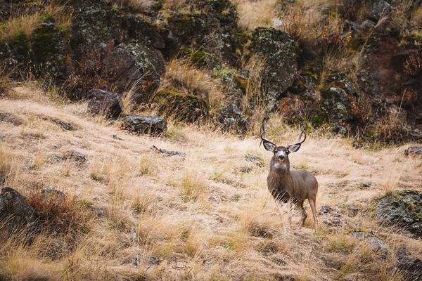 Fall Mule Deer