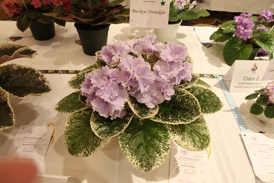 Dixie African Violet 2015 Show Clearwater, FL