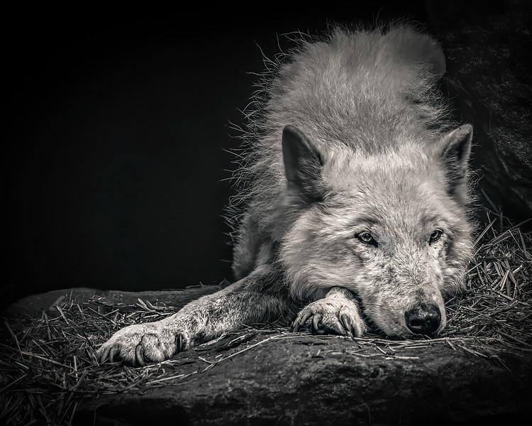 ReneFisher_WolfBW_canvas_20x16-Edit_Animal_0902_18.jpg