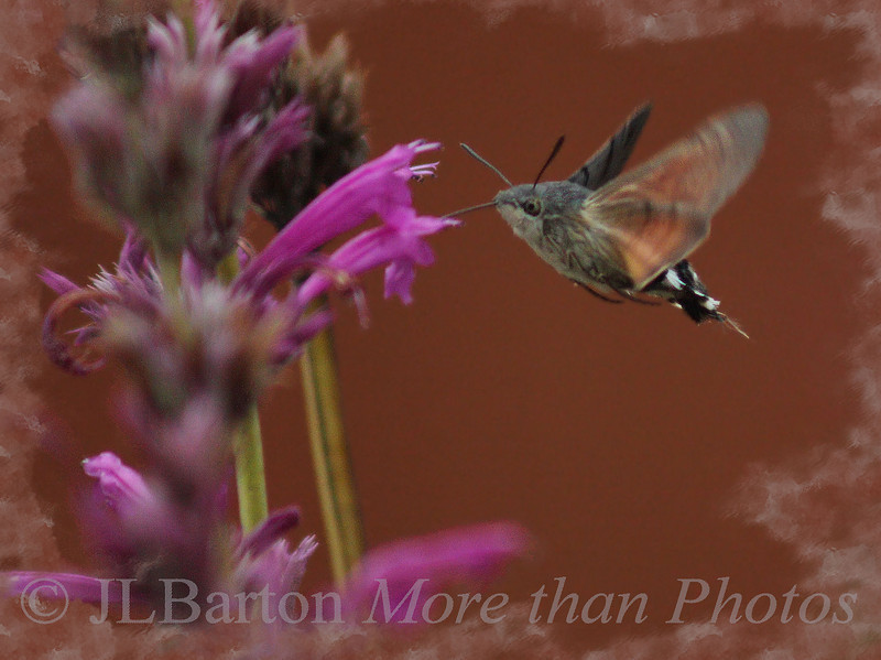 Hummingmoth