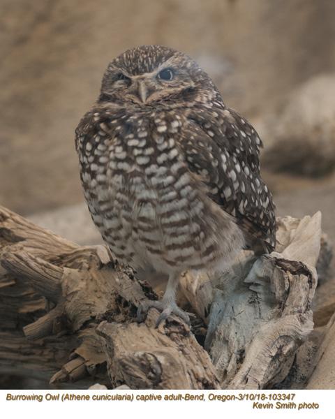 Burrowing Owl CA13347.jpg