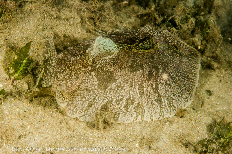 Aplysiidae - Seahares Syphonota geographica