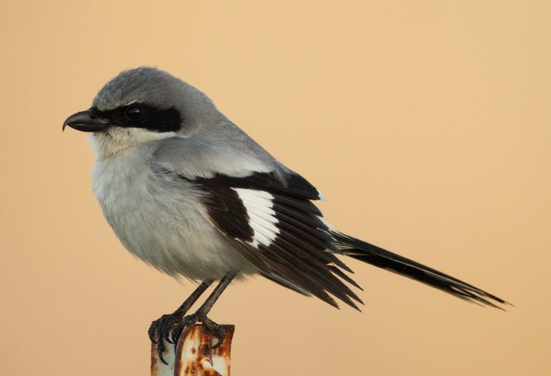 Loggerhead Shrike  San Jacinto Wildlife Area 2014  03 15-2.jpg