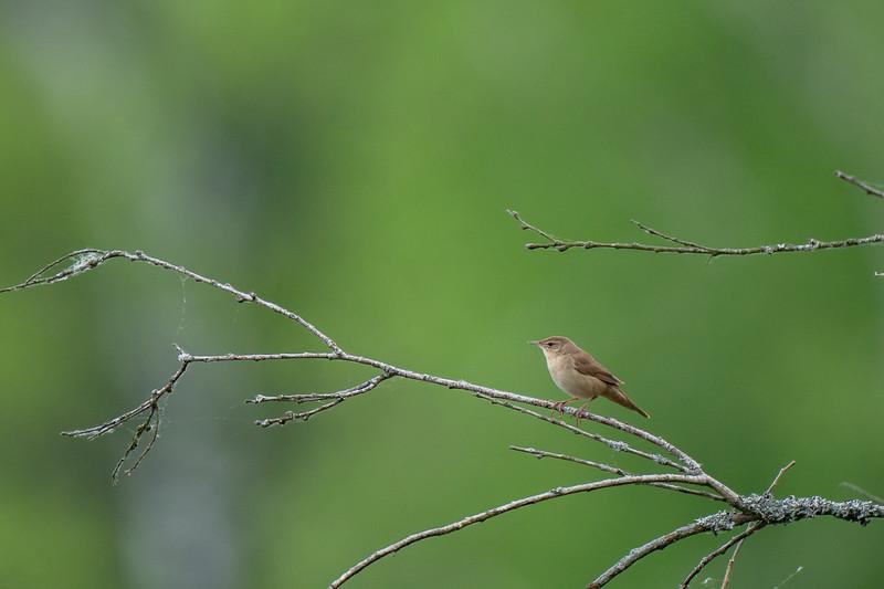 brzęczka | savi's warbler | locustella luscinioides