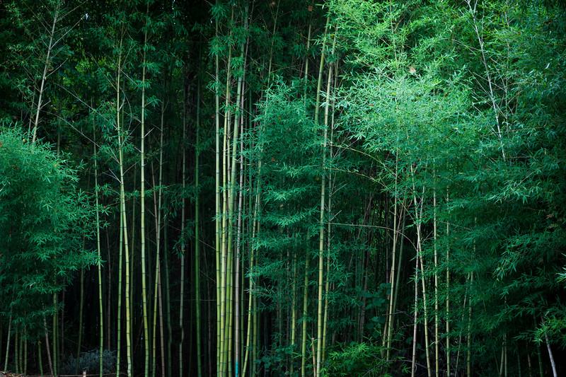CW Bamboo.jpg