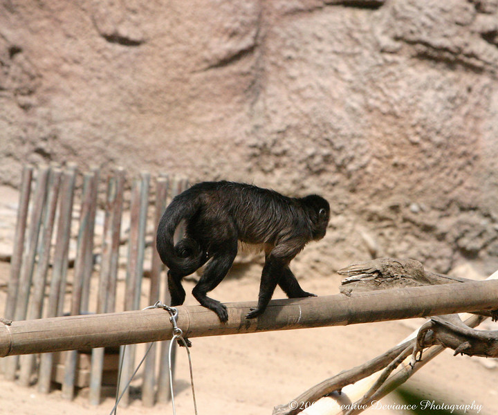 Brown Capuchin10.jpg