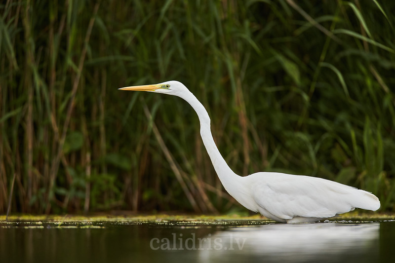 Lielais baltais gārnis / Great egret