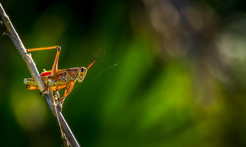 Grasshoppers 80.jpg