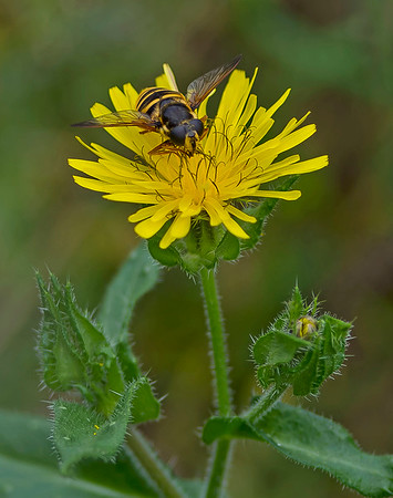 Picris echioides (Bristly Oxtongue)