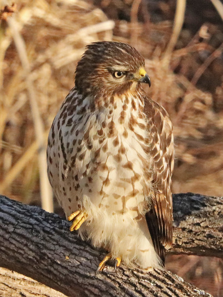 Red-tailed hawk 73