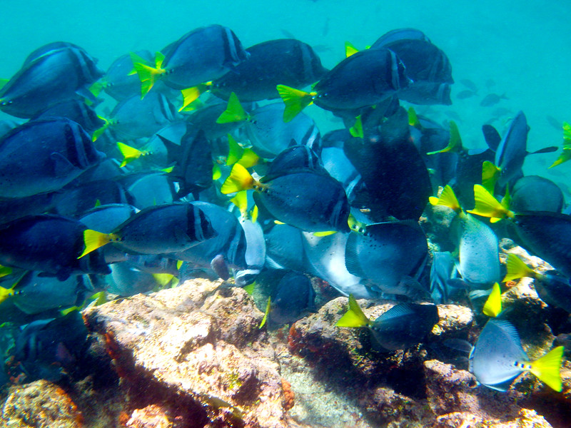 Razor Surgeonfish at Bartolome